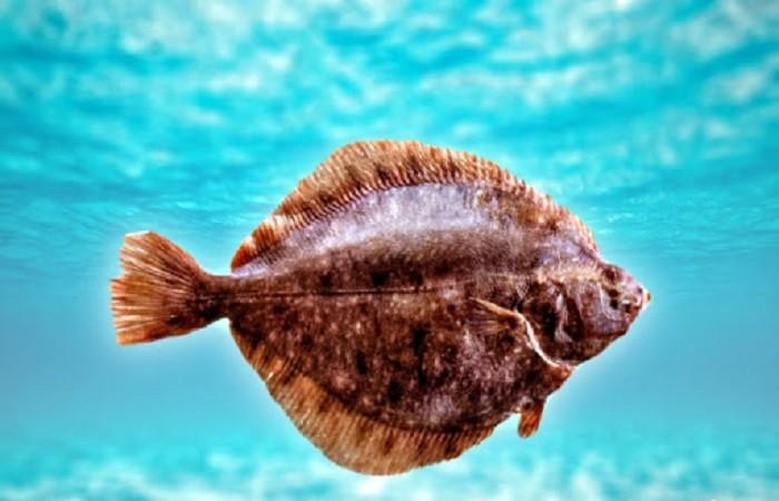 плоская рыбка
