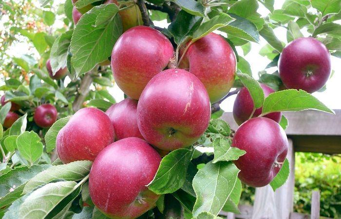 яблоки на яблони
