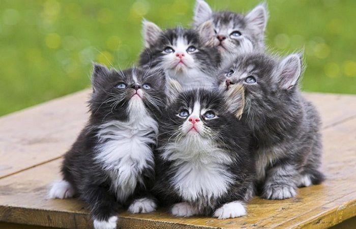 норвежские котята