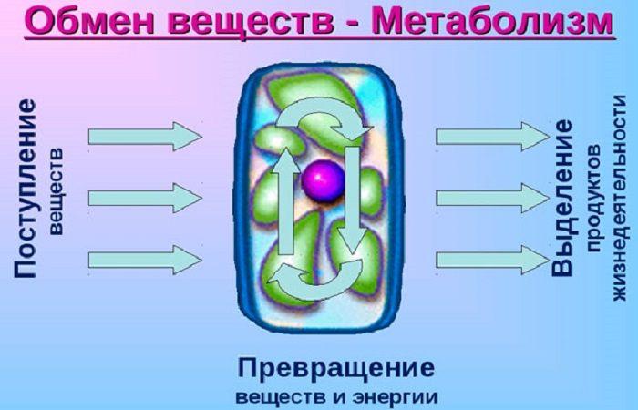обмен клетки