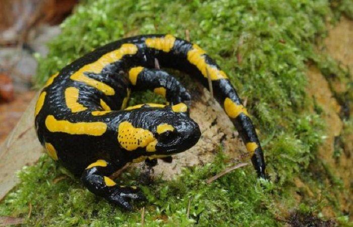 раскраска саламандры