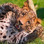 леопард и гепард отличия