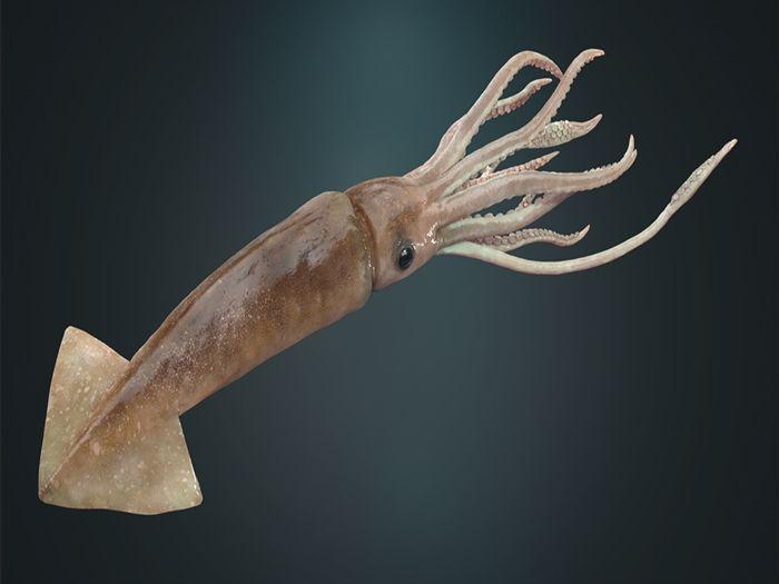 кальмар и осьминог отличие