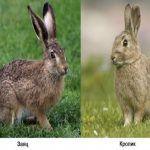 чем отличается заяц от кролика