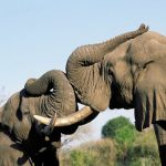 индийский и африканский слон отличия