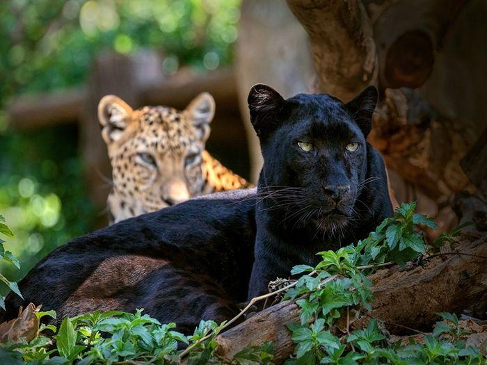 пантера и ягуар отличия