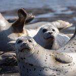 морской котик и тюлень разница