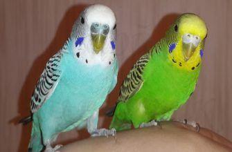 как отличить волнистого попугая мальчика от девочки